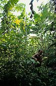 Aukre Village, Xingu, Brazil. Mote, a Kayapo chief, carrying two large mamao fruit (papaya, pawpaw).