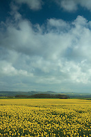 Oil Seed Fields, Gullane, East Lothian