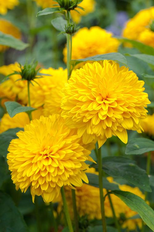 Sunflower (Helianthus 'Loddon Gold'), early August.
