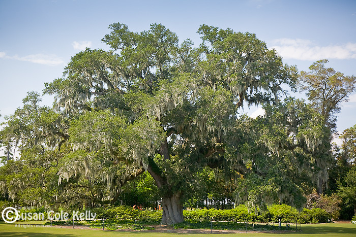 The Airlie Oak is 450 years old. Airlie Gardens, Wilmington, NC, USA