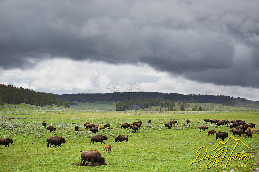 Frisky Bison after swimming the Yellowstone River in the Hayden Valley of Yellowstone National Park
