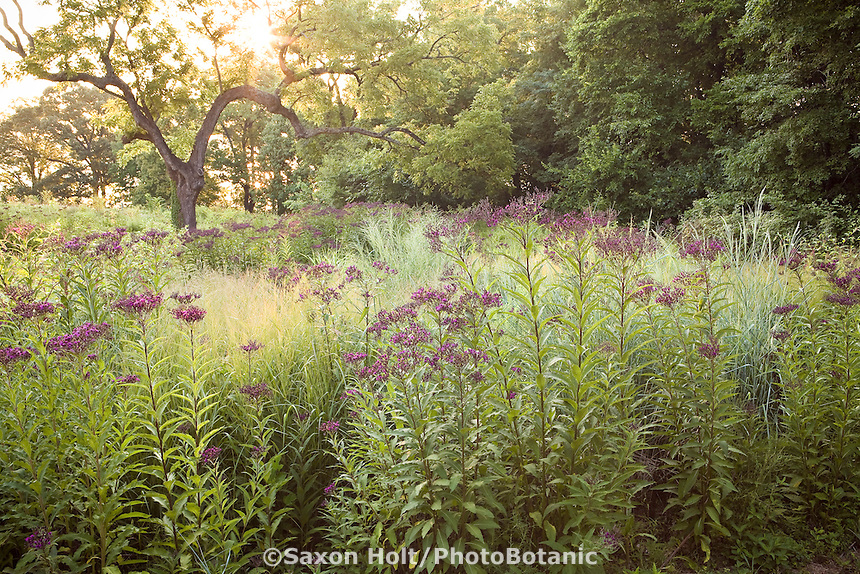 Meadow garden in morning light at River Farm, Virginia,  American Horticultural Society with perennial wildflower Ozark Ironweed (Veronia arkansana), switch grass and love grass
