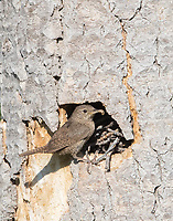 A House Wren pauses before delivering prey to its young in the nest cavity.