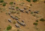 Aerial of African elephants, Amboseli National Park, Kenya