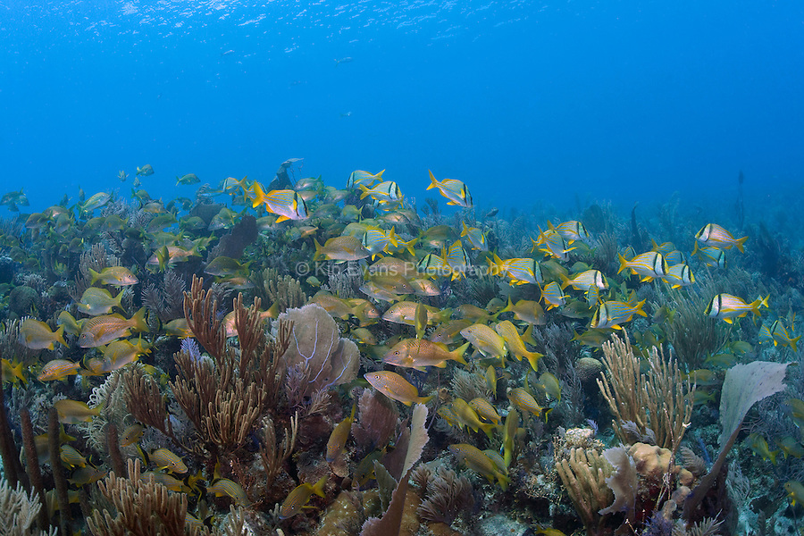 Schools of tropical reef fish swim over a coral reef at Jardines de la Reina off the coast of Cuba.
