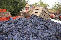 - grape harvest in the province of Piacenza....- raccolta dell'uva in provincia di Piacenza