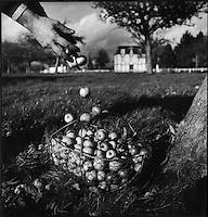 Europe/France/Normandie/Basse-Normandie/14/Calvados/Pays d'Auge/Beuvron-en-Auge: récolte manuelle des pommes dans un verger homme avec gaules et échelle