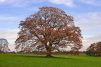 Oak tree in Autumn, Chipping, Lancashire.