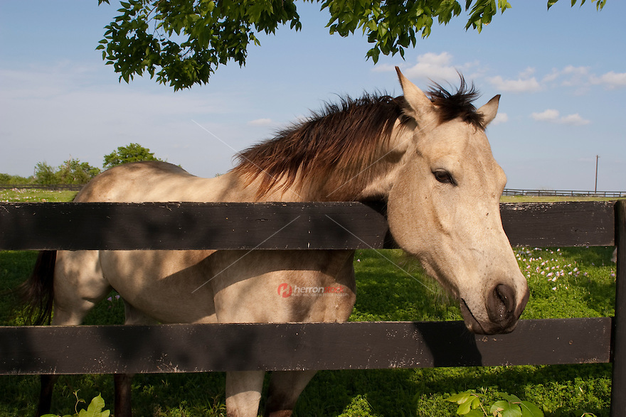 Texas Quarter Horse Mayer leans over a rustic wooden fence