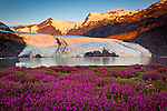 Scenic view of Portage Glacier with icebergs at dawn. Byron Peak and glacier glows in orange. Fireweed flowers in the foreground. Chugach National Forest, Kenai Peninsula, Southcentral Alaska, Summer.