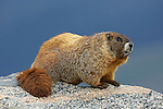 Yellowbelly Marmot on Rock