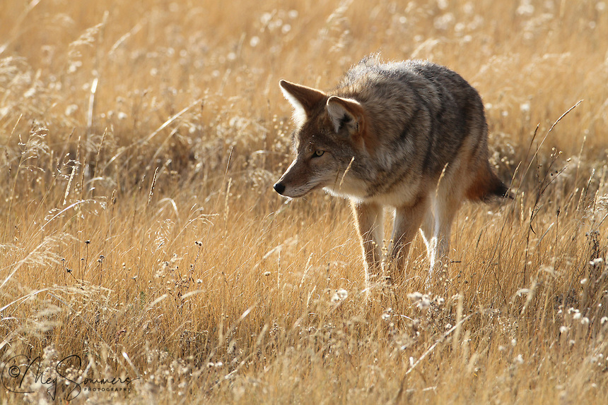 The calls a coyote (Canis latrans) makes are high-pitched and variously described as howls, yips, yelps, and barks. These calls may be a long rising and falling note (a howl) or a series of short notes (yips). These calls are most often heard at dusk or night, but may sometimes be heard in the day, even in the middle of the day. Although these calls are made throughout the year, they are most common during the spring mating season and in the fall when the pups leave their families to establish new territories. When a coyote calls its pack together, it howls at one high note. When the pack is together, it howls higher and higher, and then they yip and yelp and also do a yi-yi sound, very shrill, with the howl.  Fountain Flats, Yellowstone.