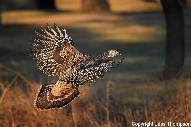 Turkey in flight, San Angelo, Texas