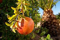 pomegranate fruit on a tree branch herdade do peso alentejo portugal
