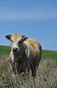 05/05/11 - NASBINALS - LOZERE - FRANCE - Broutards sur les plateaux de l Aubrac - Photo Jerome CHABANNE