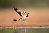 Northern Mockingbird (Mimus polyglottos), immature waving wing, Rio Grande Valley, South Texas, Texas, USA