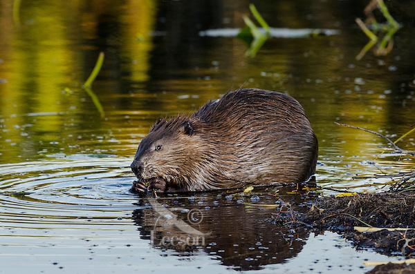 North American Beaver (Castor canadensis) feeding along edge of pond.  Northern Rockies,  Fall.