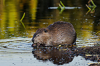 North American Beaver (Castor canadensis) feeding along edge of pond.  Northern Rockies,  Fall.