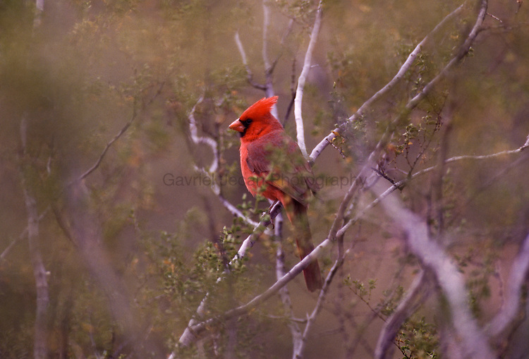 Cardinal ( cardinalidae)