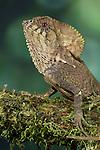 Helmeted Iguana (Corytophanes cristatus), Costa Rica. Captive.
