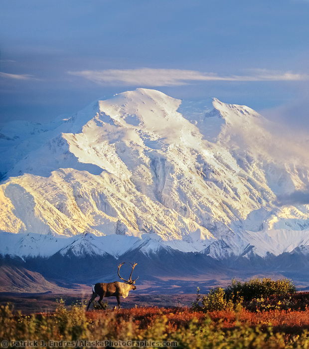 DIGITAL COMPOSITE: Bull caribou walks in the autumn tundra in front of the North face of Mt. Denali, Denali National Park, Alaska.
