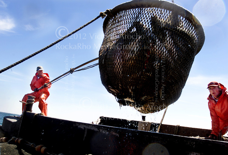 ADVANCE FOR SUNDAY JULY 15--Alan Wheeler, left, crew member and co-owner of the commercial trap-fishing boat the Maria Mendosa guides a net scope full of fish out of the water as fellow crew member Chad Pitman, right, looks on, Friday, July 6, 2001 as a fellow crew member looks on, off the shores of Newport, R.I.  Wheeler, is one of the many local fisherman affected by the federal and local state restrictions imposed on the fishing industry. (AP Photo/ Victoria Arocho)