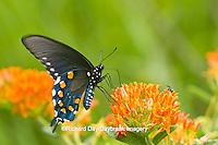 03004-01404 Pipevine Swallowtail (Battus philenor) on Butterfly Milkweed (Asclepias tuberosa) Reynolds Co., MO