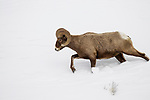 Bighorn Sheep (Ovis canadensis) ram in winter, Lamar Valley, Yellowstone National Park, Wyoming