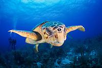 loggerhead sea turtle, Caretta caretta, adult, male, endangered species, and scuba divers, Turneffe Atoll, Belize Barrier Reef, Belize, Caribbean Sea, Atlantic Ocean