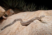 Rosy Boa - Lichanura trivirgata - Female found crawling in a rocky wash.