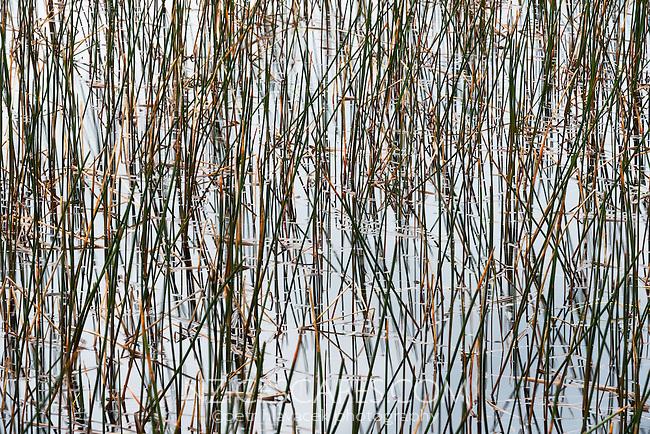 Reeds at Lake Mahinapua, West Coast, South Westland, South Island, New Zealand, NZ