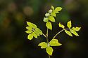 Ash Tree Leaves {Fraxinus excelsior}, Peak District National Park, UK, Derbyshire. October.