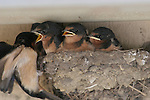 Barn swallows in nest, feeding time, Ano Nuevo State Reserve