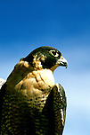 Idaho: Birds of Prey, Peregrine Falcon, World Center for Birds of Prey.  Photo: idprey105 .Photo copyright Lee Foster, www.fostertravel.com,  510/549-2202, lee@fostertravel.com