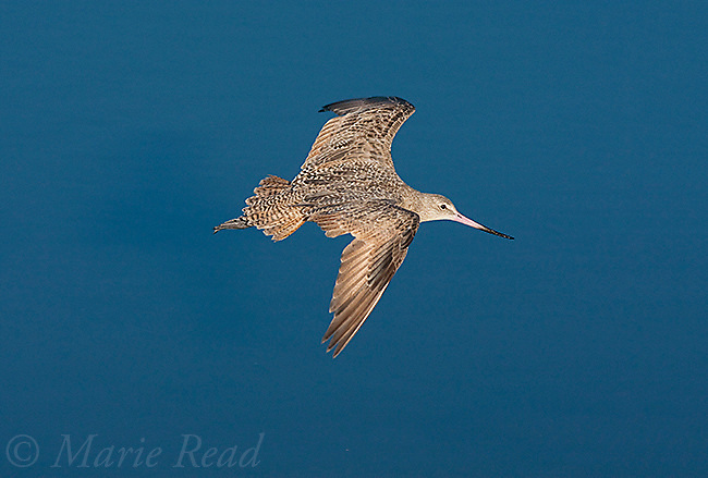 Marbled Godwit (Limosa fedoa) in flight over water, Bolsa Chica Ecological Reserve, California, USA