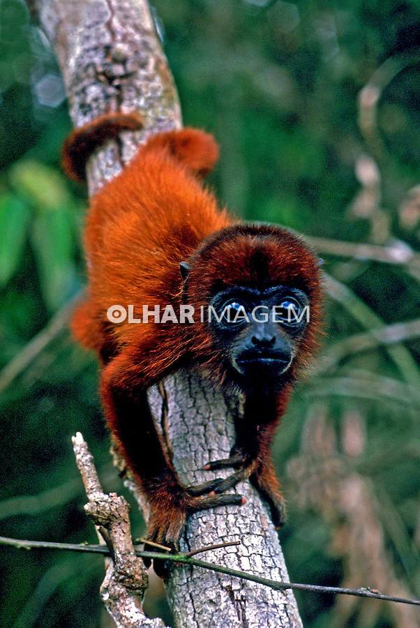 Animais. Mamiferos. Primatas. Macaco guariba (Alouatta seniculus). PA. Foto de Salomon Cytrynowicz.