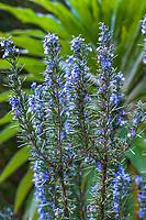 Rosmarinus officials 'Tuscan Blue', Rosemary, winter flowering fragrant perennial herb in California garden in front of Echium - Blake Garden