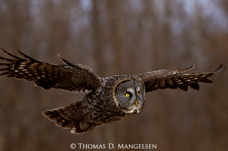 Great Gray Owl in flight.