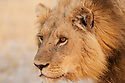 Botswana, Okavango Delta, Moremi Game Reserve,  male lion (Panthera leo) in dry grass savannah, portrait, close-up