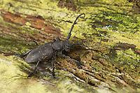 Weberbock, Weber-Bock, Lamia textor, Pachystola textor, Weaver beetle, le Lamie tisserand