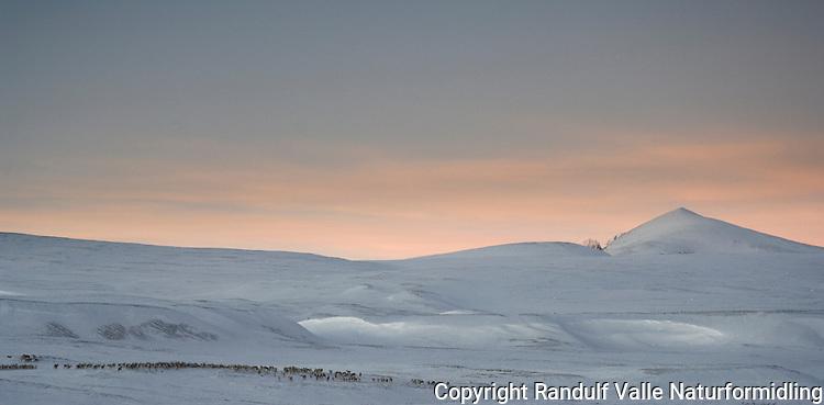 Villreinsflokk i Dovrefjell ---- Herd of reindeer in Dovrefjell