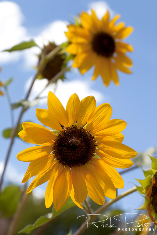 Sunflowers reach skyward in the garden at the La Posada Hotel in Winslow Arizona.