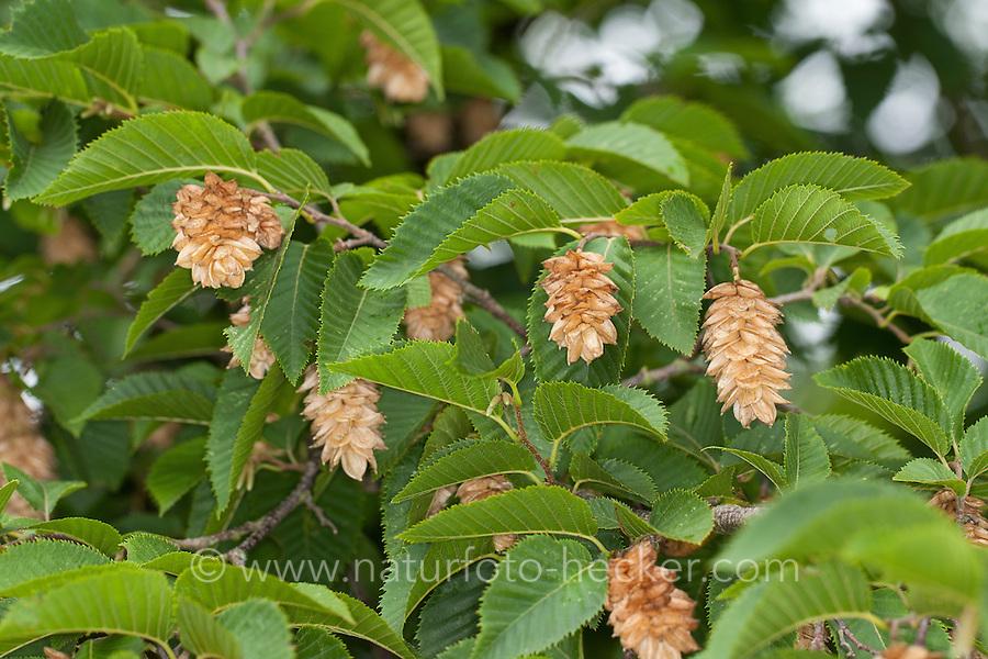 Europäische Hopfenbuche, Gemeine Hopfenbuche, Ostrya carpinifolia, Hop Hornbeam, European Hop Hornbeam