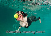 REALISTIC ANIMALS, REALISTISCHE TIERE, ANIMALES REALISTICOS, dogs, paintings+++++SethC_320B2578rev,USLGSC06,#A#, EVERYDAY ,underwater dogs,photos,fotos ,Seth