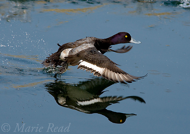 Lesser Scaup (Aythya affinis) male taking flight from water, with reflection, California, USA