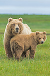 Alaska Peninsula Brown Bear female and cub (Ursus arctos horribilis)