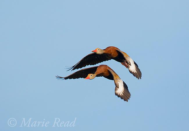 Black-bellied Whistling-Ducks (Dendrocygna autumnalis) pair in flight, Venice, Florida, USA