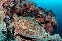 green sea turtle, Chelonia mydas, has sharksucker or remora, Echeneis naucrates, attached to shell, Sipadan Island, Malaysia