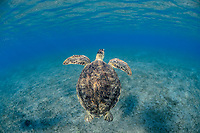 green sea turtle, Chelonia mydas, endangered species, Wadi Gimal National Park, Marsa Alam, Egypt, Red Sea, Indian Ocean