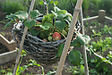 Strawberries growing in a hanging basket, early June.